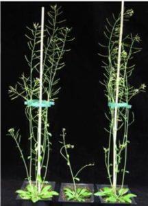 Experimental plants. (Credit: Pia Petersen / Yves Verhertbruggen)