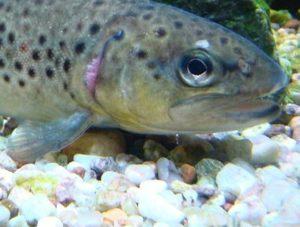 Baby brown trout (CREDIT: Zouavman Le Zouave, Wikimedia Commons).