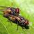 Copulating houseflies. Credit: Muhammad Mahdi Karim