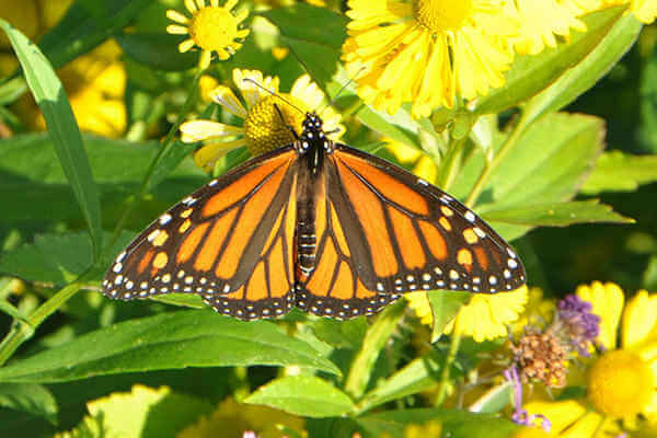 c Monarch Butterfly GMO crops