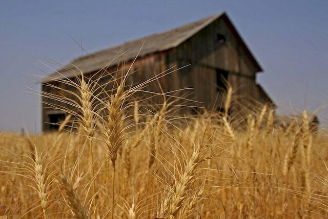 wheat smallerzellar