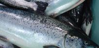 Soviet entrepreneur holds fate of GM salmon