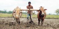 Suicides in India over GM crops: How false anti-GM story took root