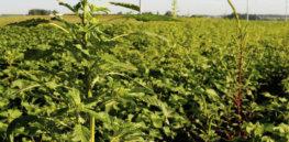 GM crops + herbicides = Super-Superweeds?