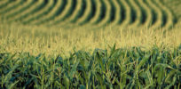 Despite record heat wave and drought, genetic engineering will result in productive corn season
