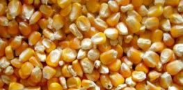 maize l