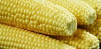 Flawed GM corn study fallout: Russia suspends import of Monsanto corn