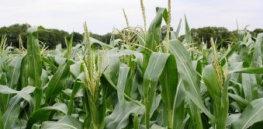 GM corn crops