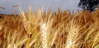 Developing markets hungry for genetically modified crops