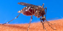 Aedes aegypti biting human