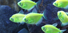 GloFish Electric Green Tetra MidRes