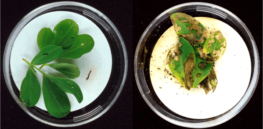 px Bt plants