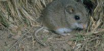 Scientists look to burrowing mice to understand genetics of instinct