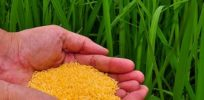 The promising future of GM rice