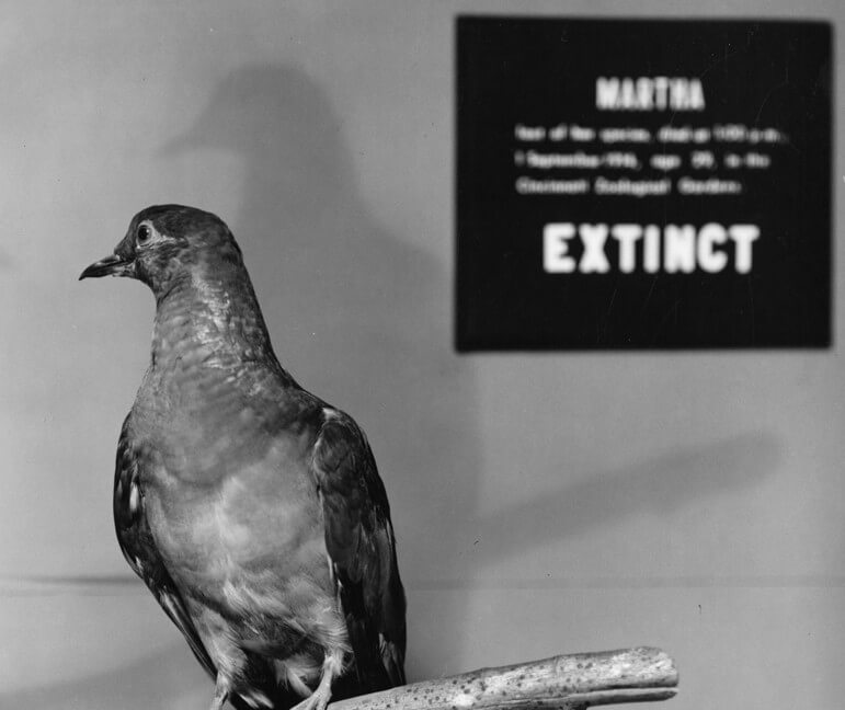 Martha a Passenger Pigeon e