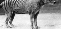 could de extinction occur tasmanian tiger x e