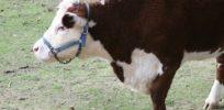 Media mangles latest biotech innovation—hornless cows