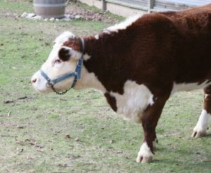 Polled Hereford cow, Credit: Flickr/cliff1066