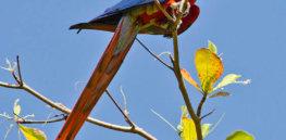 px Ara macao Puntarenas Province Costa Rica