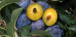 px C plum pox resistant plum