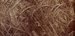 Eugène Atget Wheat Google Art Project