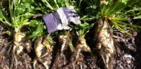 Oregon: Genetically modified crops vandalized