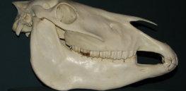 px Przewalski horse skull