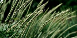 Hybrid perennial wheat in the field