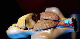 liver morguefile
