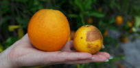 Fate of Florida oranges rests on whether activists succeed in debasing GM debate