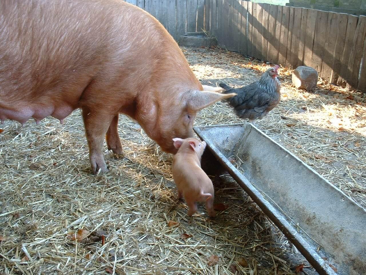 pigs morguefile