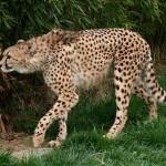 cheetah x x