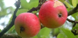 Why organic apple farmers spray their trees with insecticides 32 times on average during each growing season