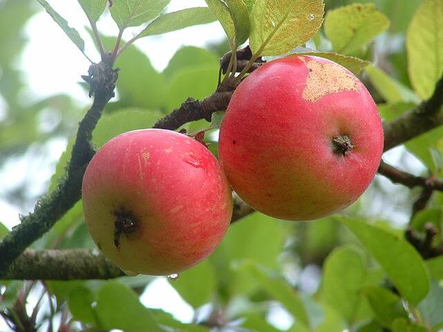 px Discovery apples