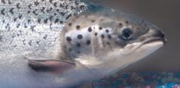 Salmon e