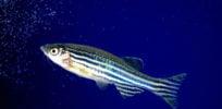 Zebrafish aquarium