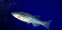 Zebrafish may help identify functions of human genes