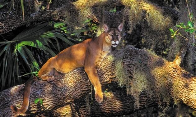 panther nature