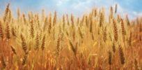 wheat x
