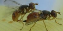 Battle developing over GM insects poised to fight olive pests