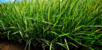 Golden Rice confined field trial at IRRI