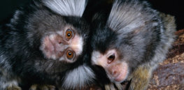 marmosets rod william