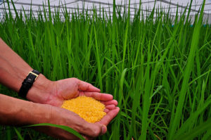Genetically modified golden rice. Image via The International Rice Research Institute.