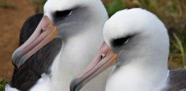 albatross side heads x