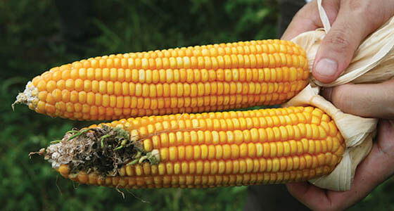The GMO 'Population and Prosperity Paradox': Can biotechnology ...