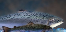 AquaBounty Lawsuit just another attempt to delay commercialization of GE salmon strict xxl