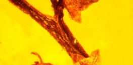 image micropetasos burmensis