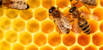 EU rules that honey containing GM pollen will not require a label