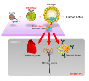 Totipotent cells are further back in the cell development process than pluripotent cells, thus they have even more potential.  Click for full size. (CREDIT: Mike Jones, Wikipedia)