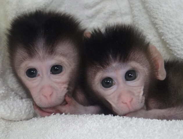 CRISPR monkeys